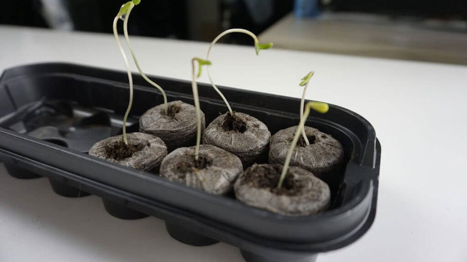 Cannabis Seedling