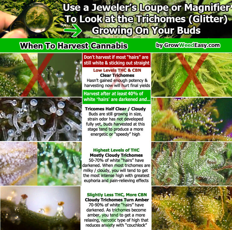 When to Harvest Cannabis Guide